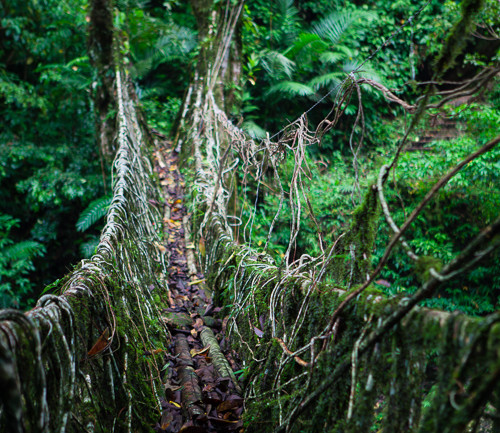Living Root Bridges of Cherrapunjee