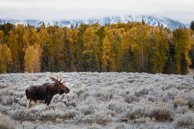 Bull Moose at Schwabacher's Landing